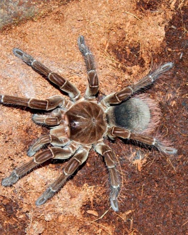 goliath-bird-eater-spider