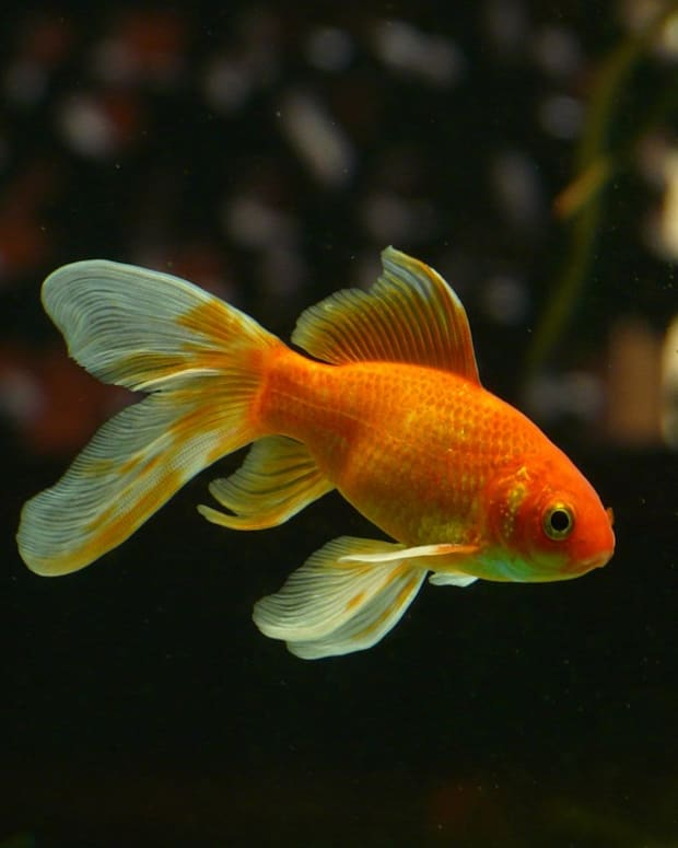 the-best-aquatic-plants-for-goldfish