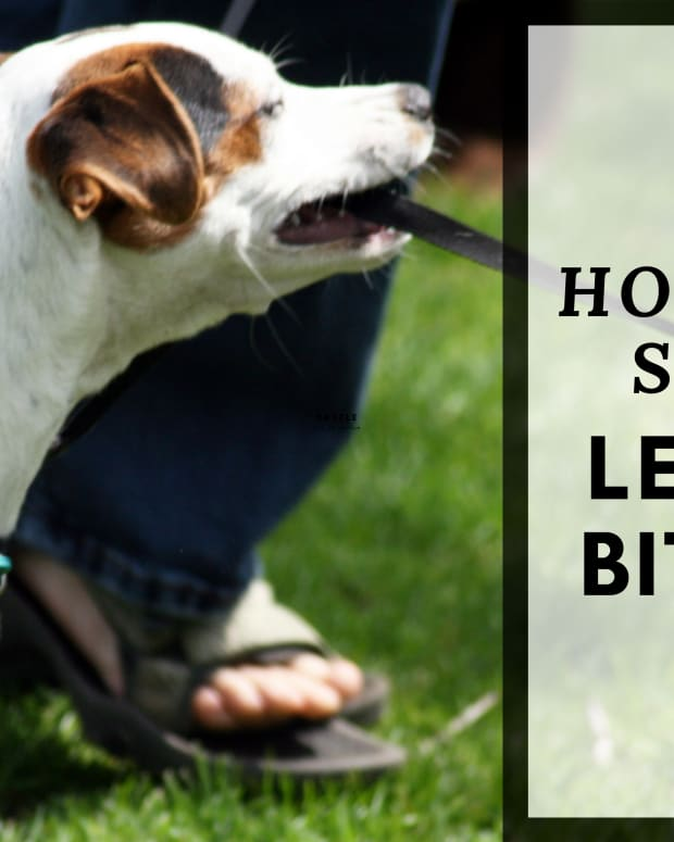 how-to-stop-your-dog-from-biting-the-leash