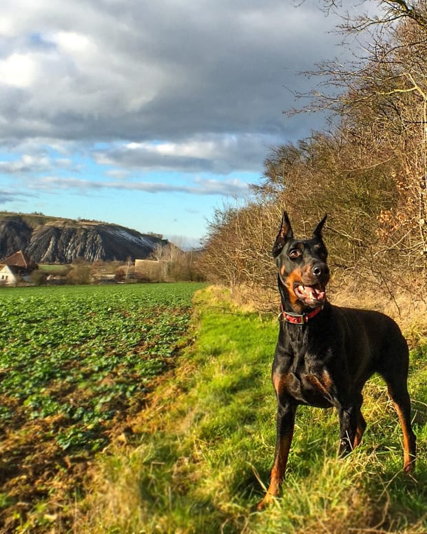 7-health-problems-you-need-to-look-out-for-in-your-doberman-pinscher