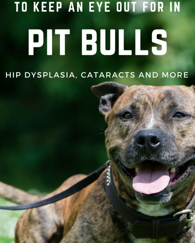 health-problems-to-watch-out-for-in-pit-bulls