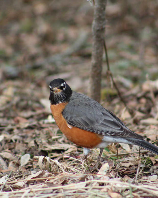 robins-a-photo-essay