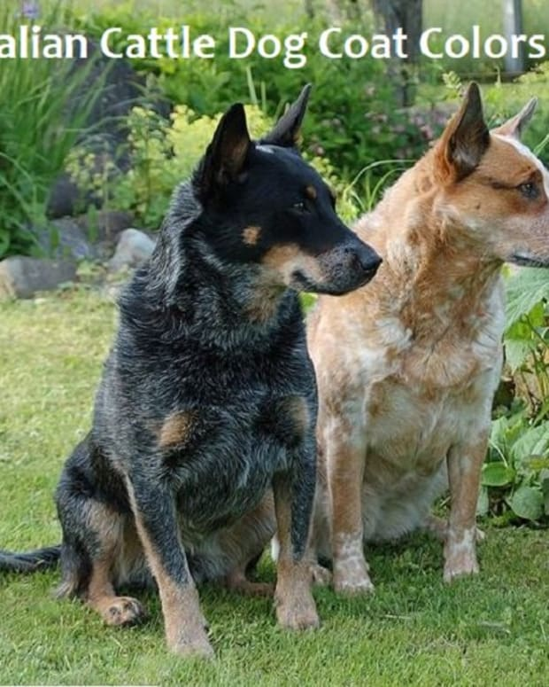 a-guide-to-australian-cattle-dog-coat-colors