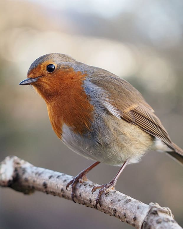 how-to-be-a-better-birder-top-tips-to-improve-your-bird-identification-skills
