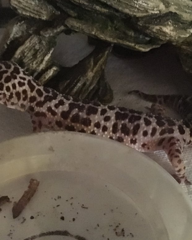 help-my-gecko-wont-eat