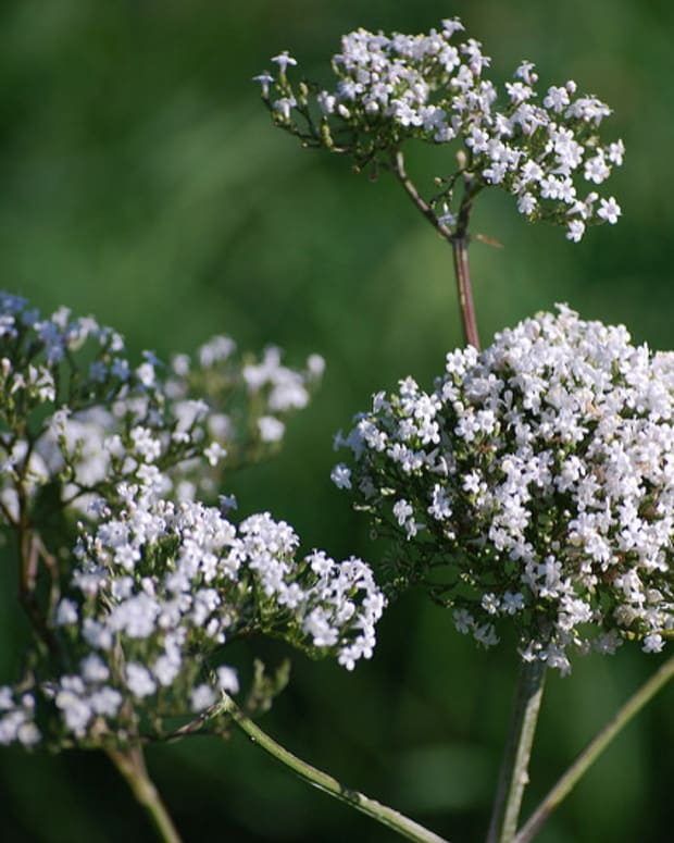 valerian-root-for-stress-and-anxiety