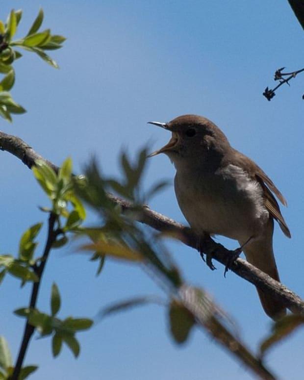lonesome-nightingale