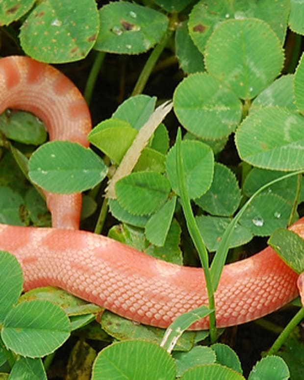 corn-snake-domestic-pet