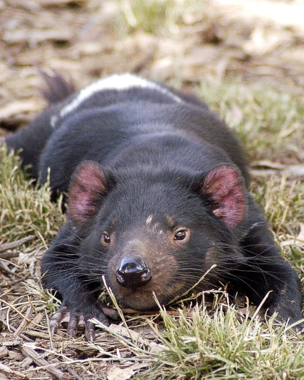 tasmanian-devils-and-devil-facial-tumor-disease-dftd