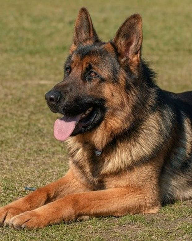 tips-for-german-shepherd-dog-training