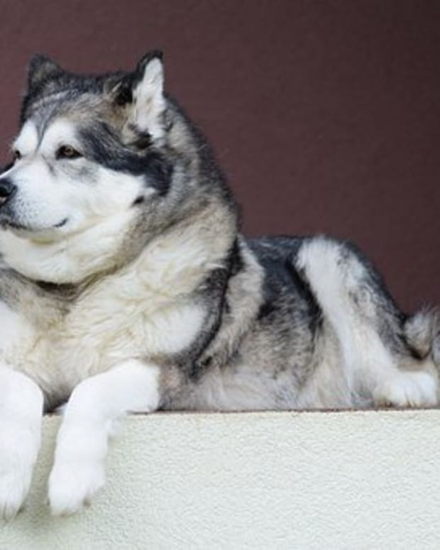 15-great-inuit-names-for-your-alaskan-malamute