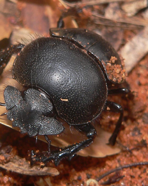 sadly-a-dung-beetles-life-is-just-a-ball-of-dung
