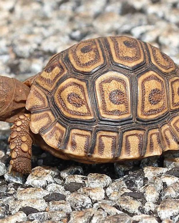 how-to-breed-your-leopard-tortoise