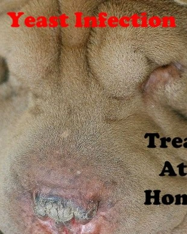 dog-yeast-infection-symptoms-and-natural-cures