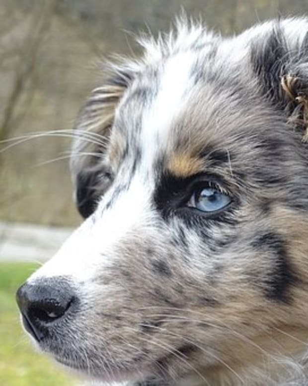 25-australian-slang-names-for-your-australian-shepherd