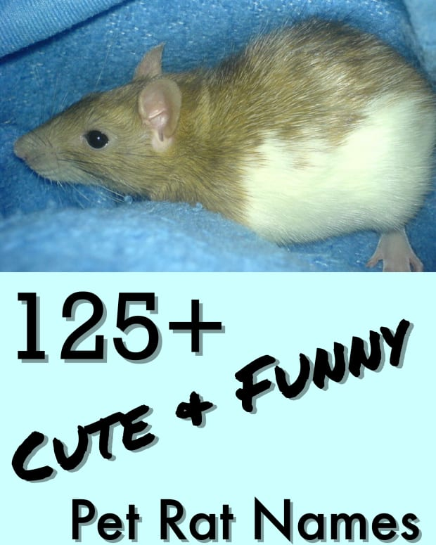 names-for-a-pet-rat