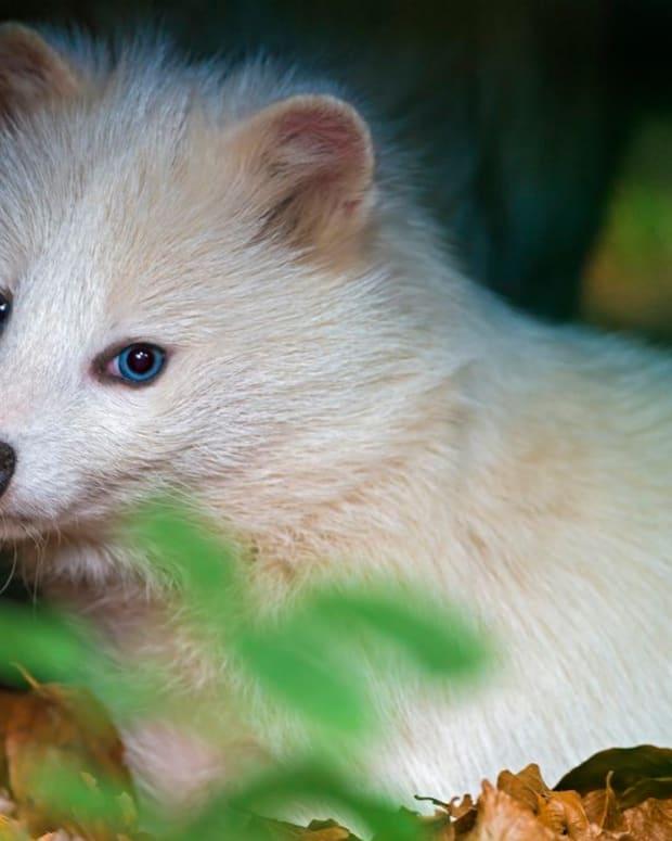 raccoon-dog-tanuki-pet-legal