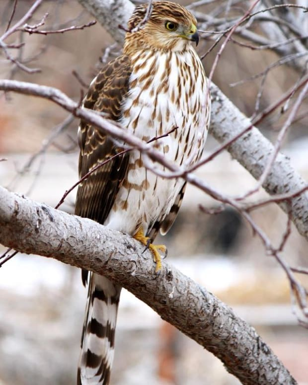 how-to-distinguish-a-coopers-hawk-from-a-sharp-shinned-hawk