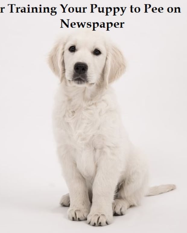 paper-training-your-puppy-to-pee-on-newspaper
