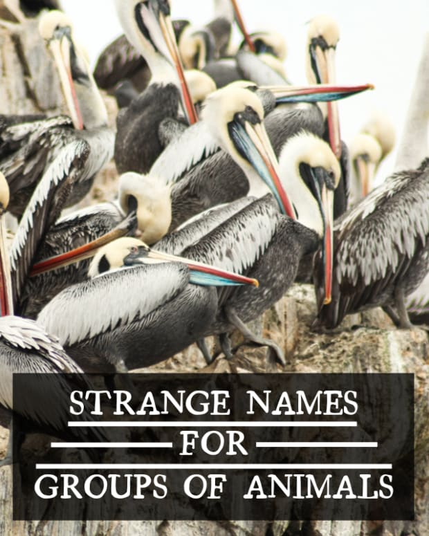 collective-names-for-groups-of-animals