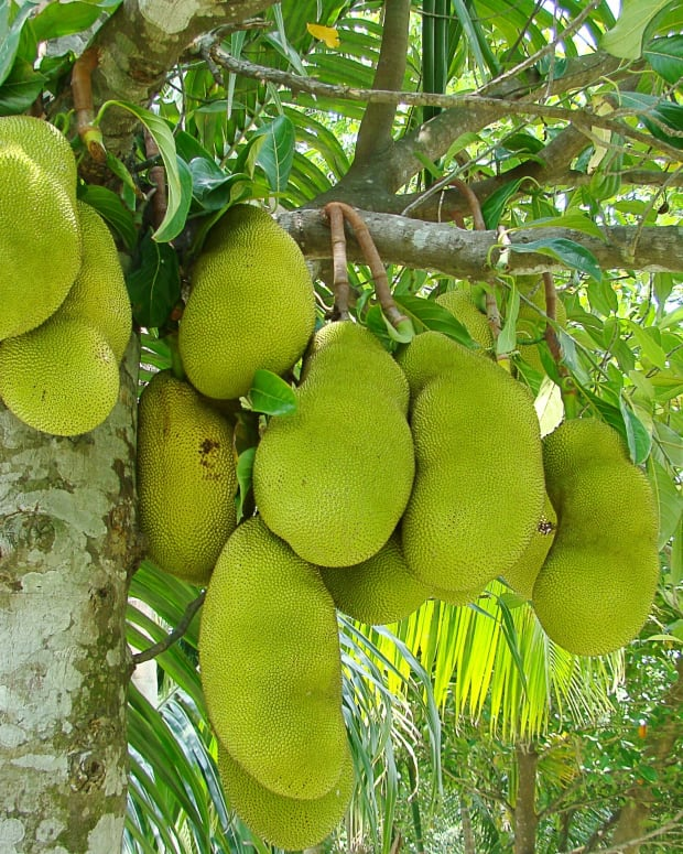 jackfruit-facts-cacao-trees-and-a-replacement-for-cocoa