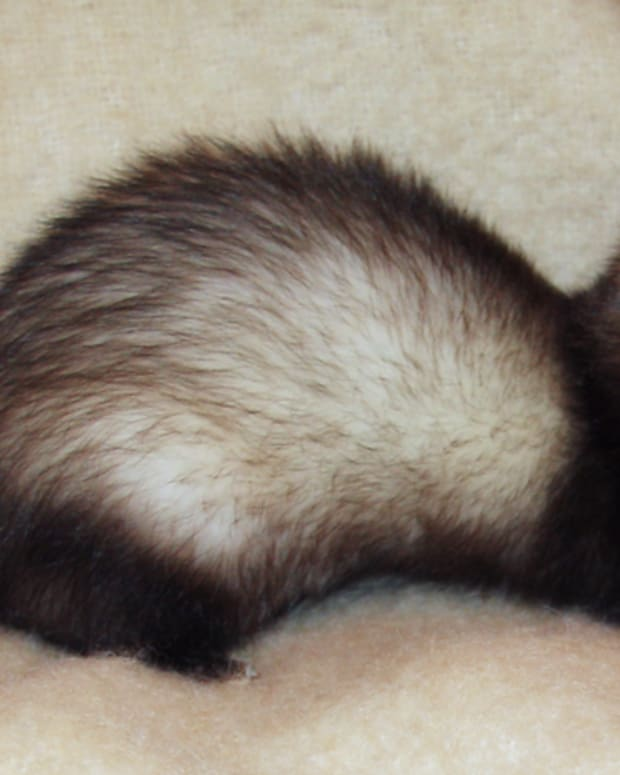 basic-ferret-husbandry