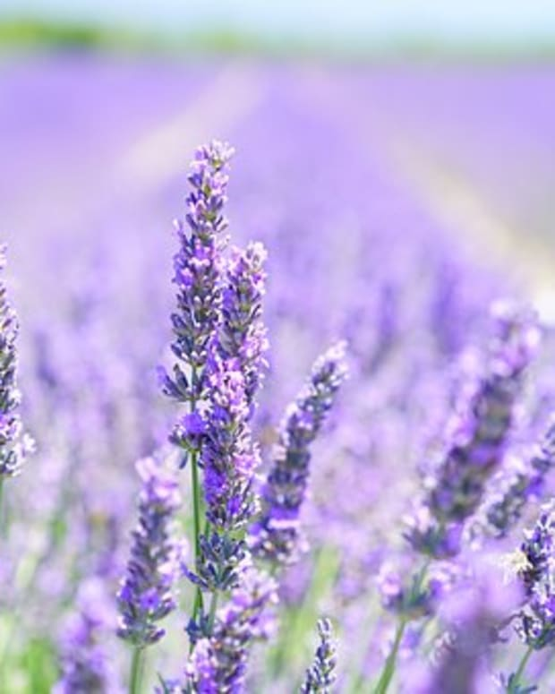the-benefits-and-uses-of-lavender-essential-oil-must-have-oils-1-of-10
