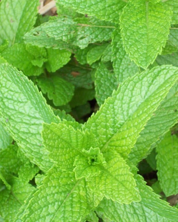 the-benefits-and-uses-of-peppermint-essential-oils