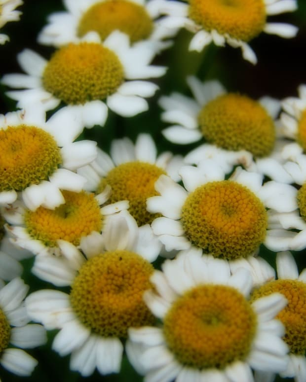 the-healing-properties-of-feverfew