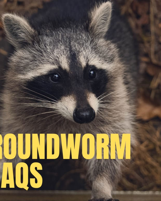 how-do-you-get-roundworm-parasites-from-pets-or-wildlife