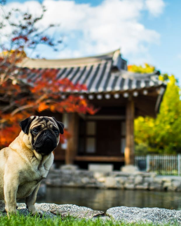 this-history-of-pugs-in-ancient-china