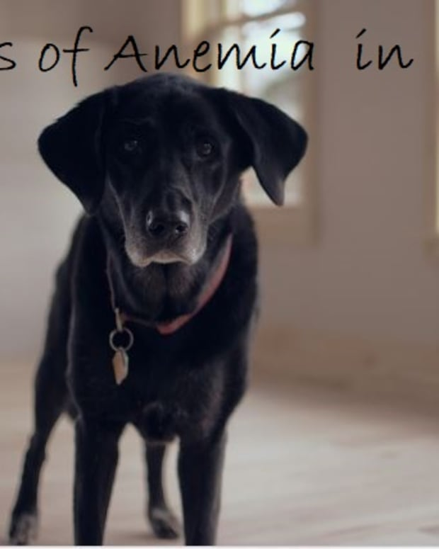 signs-of-anemia-in-dogs