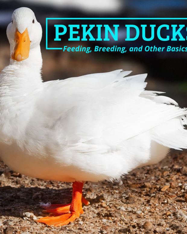 pekin-ducks