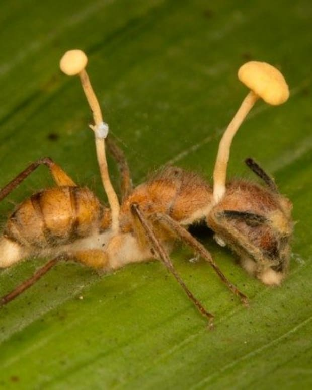 zombie-ants