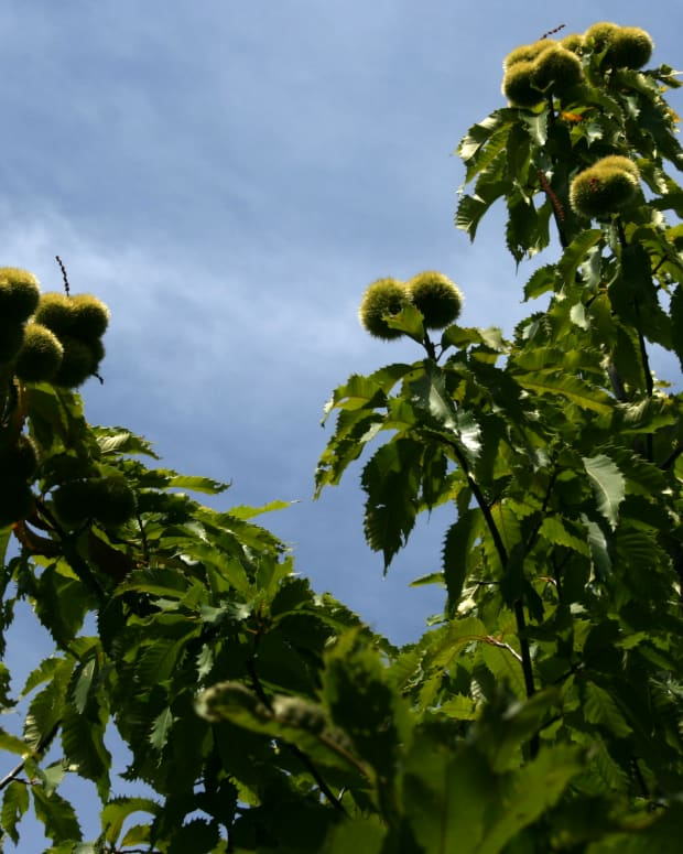 americas-vanished-treasures-the-american-chestnut-tree