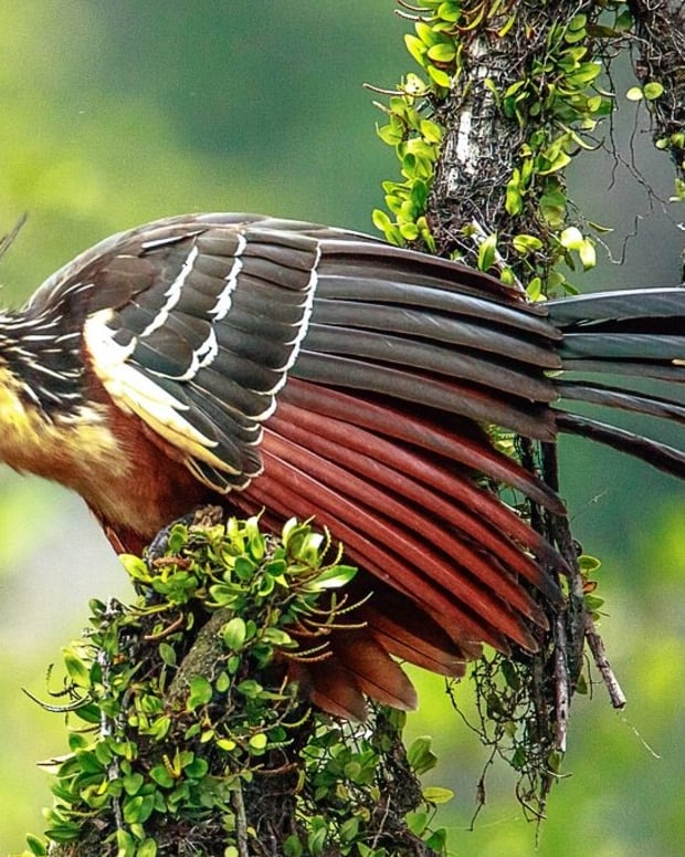 hoatzin-or-stinkbird-facts-that-you-may-not-know