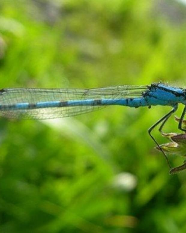 the-common-blue-damselfly