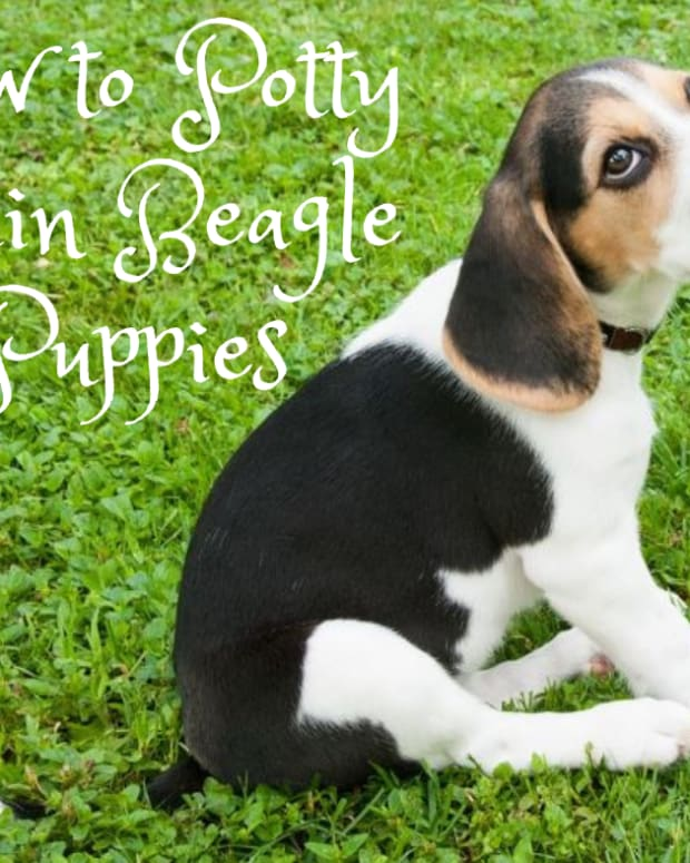 how-to-potty-train-a-beagle-puppy