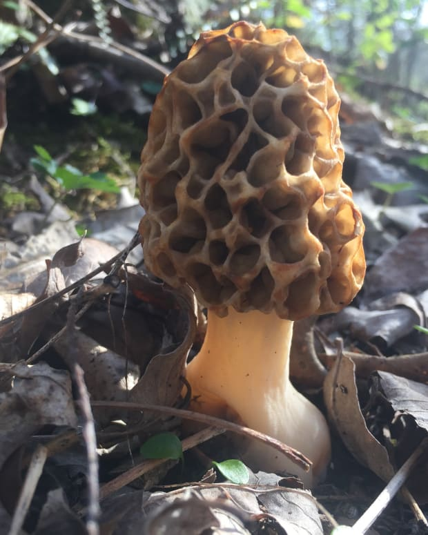the-health-benefits-of-morel-reishi-and-portobello-mushroms