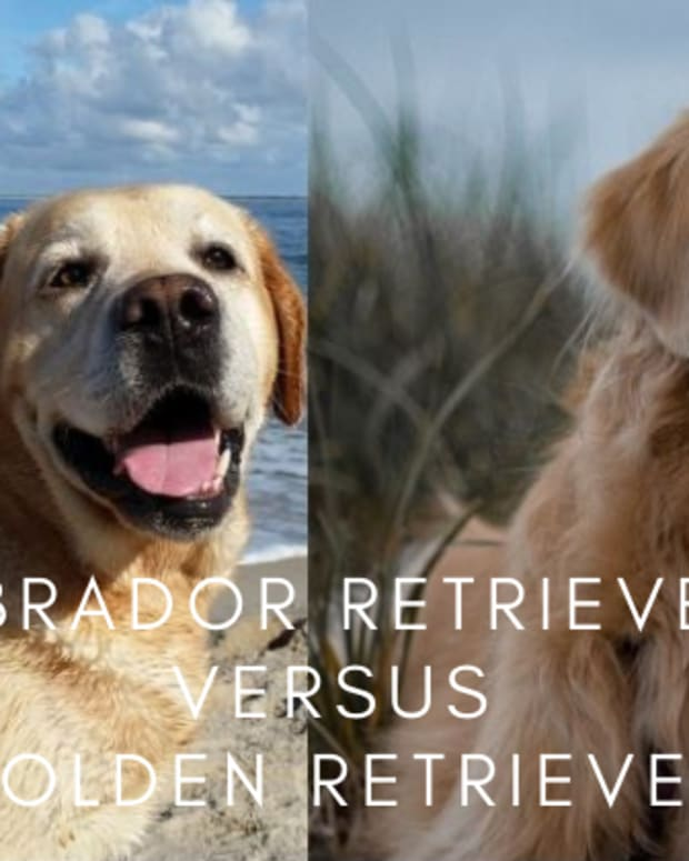 differences-between-labrador-retrievers-and-golden-retrievers