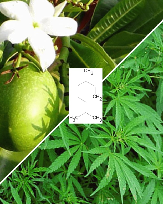 the-mango-myrcene-thc-connection-is-it-for-real