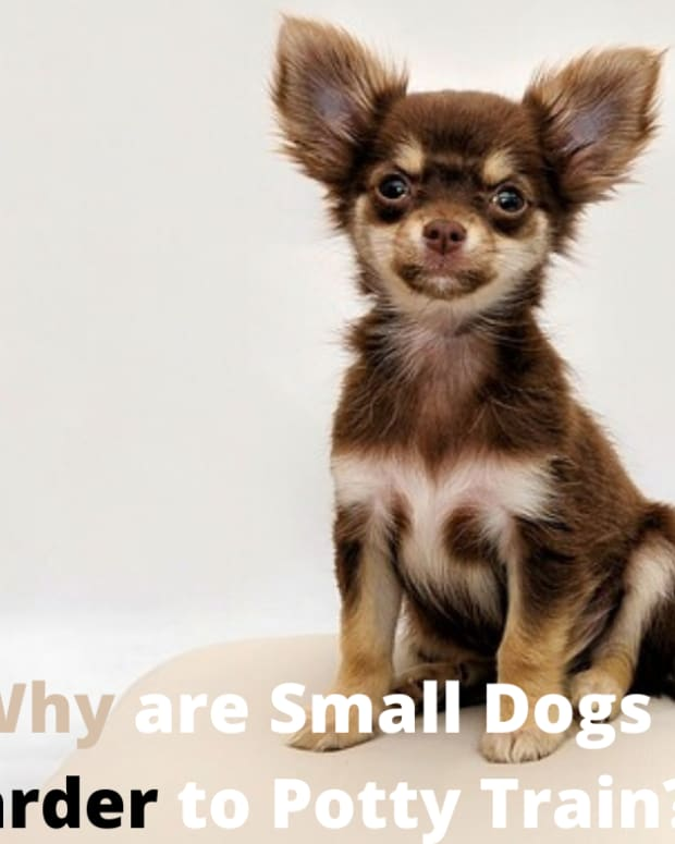 why-are-small-dogs-harder-to-potty-train
