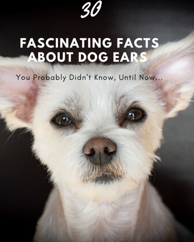 30-fascinating-facts-about-dog-ears
