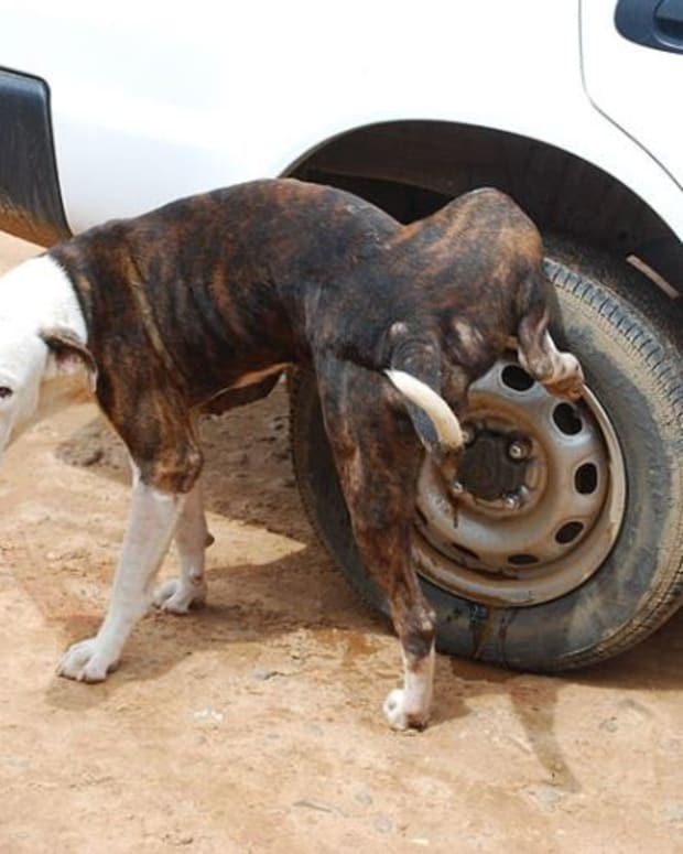 why-dogs-pee-on-car-tires