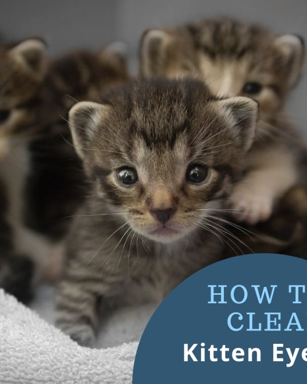 how-to-clean-kitten-eyes-that-are-matted-shut