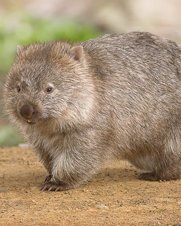 interesting-facts-about-wombats-and-their-cube-shaped-poop
