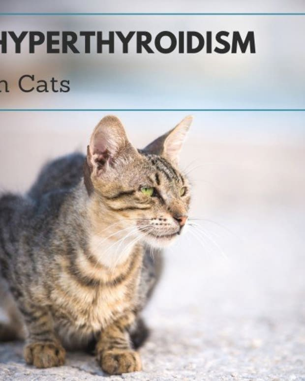 feline-hyperthyroidism-faqs-why-is-my-cat-losing-weight