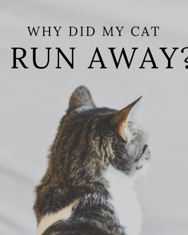 why-do-cats-leave-home-or-runaway-and-not-come-back
