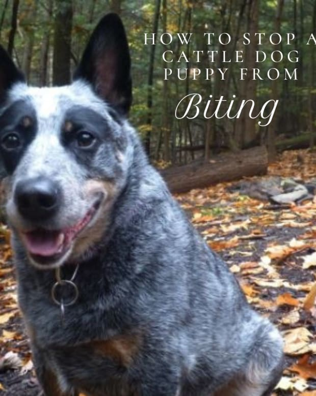 how-to-stop-a-cattle-dog-puppy-heeler-from-biting