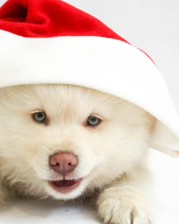 holiday-puppies-should-you-get-a-puppy-for-christmas